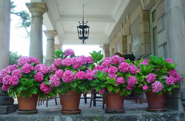 Casa Corrales: Garden - Hydrangeas in terrace