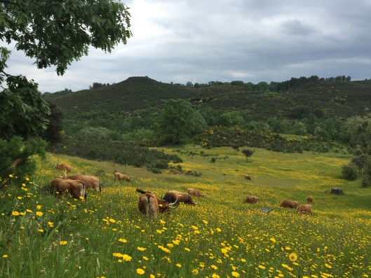 Casa Naval: cattle on property